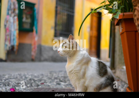 A grey and white tabby cat with beautiful yellow green eyes sits and watches on an alley in Monterosso Al Mare, - Stock Photo