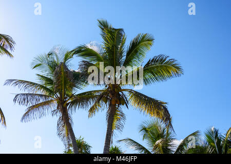 Palm trees with coconuts on a blue sky background. Roatan, Honduras. - Stock Photo