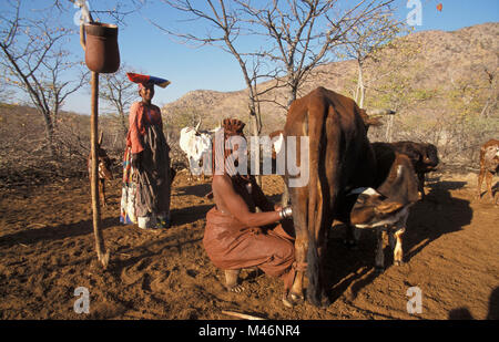 Namibia. Kaokoveld, near Opuwo. Himba tribe.Woman milking cow. Left: woman of Herero tribe with Victorian dress. - Stock Photo