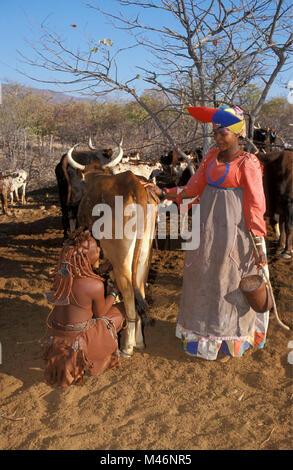 Namibia. Kaokoveld, near Opuwo. Himba tribe. Woman milking cow. Right woman of Herero tribe with Victorian dress. - Stock Photo