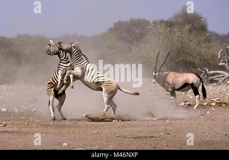 Namibia. Etosha National Park. Burchell zebra (Equus quagga burchellii) fighting. Gemsbok (Oryx gazella). - Stock Photo