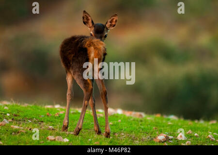 Deer (Cervus elaphus) shooted in Spain. - Stock Photo