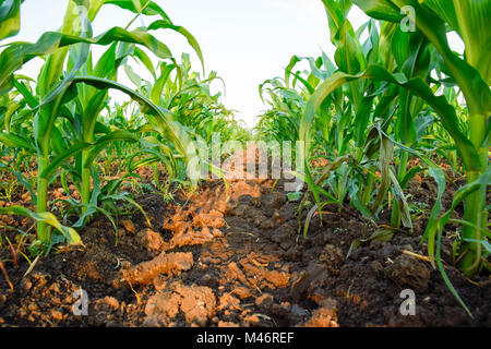 Young green corn on the field. Corn field in the spring. Growing stalks of corn - Stock Photo