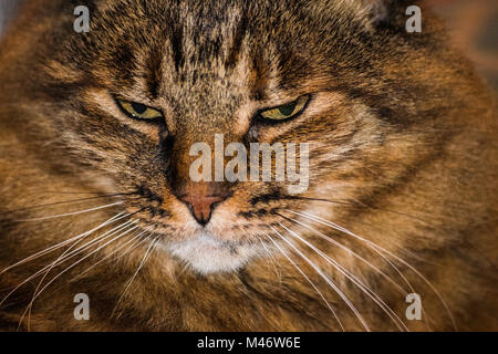 Siberian gray cat face looking down - Stock Photo
