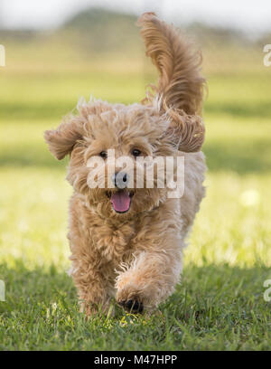 Cute hairy puppy running toward camera on grass - Stock Photo