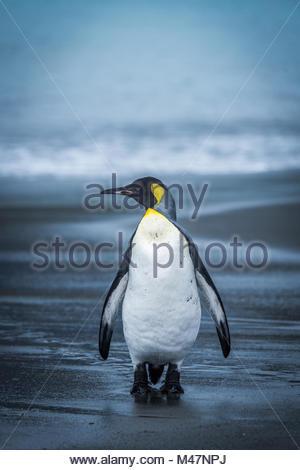 Lone penguin walking along wet sandy beach - Stock Photo