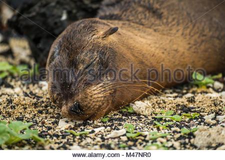 Galapagos sea lion pup sleeping on shingle - Stock Photo