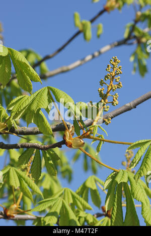 Aesculus hippocastanum, Horse chestnut, young shoots - Stock Photo