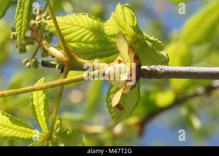 Aesculus hippocastanum, Horse chestnut, Austrieb, young shoot - Stock Photo