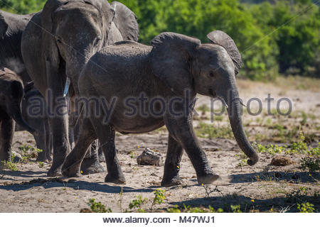 Baby elephant walking ahead of family on sand - Stock Photo