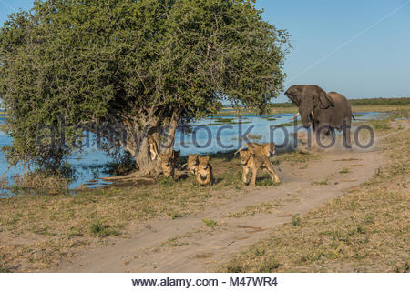 Elephant chases six lions away on riverbank - Stock Photo