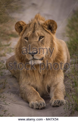 Male lion lying in shade on track - Stock Photo