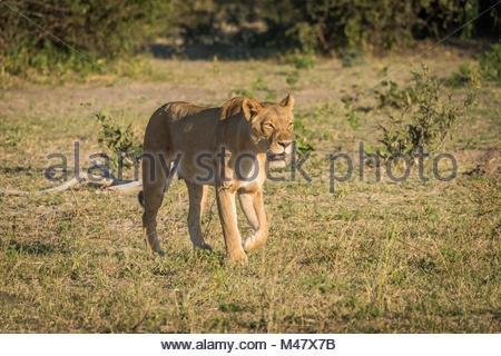 Lioness stalking prey in grassy clearing - Stock Photo