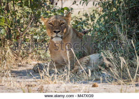 Lioness lying in shady bushes with cub - Stock Photo