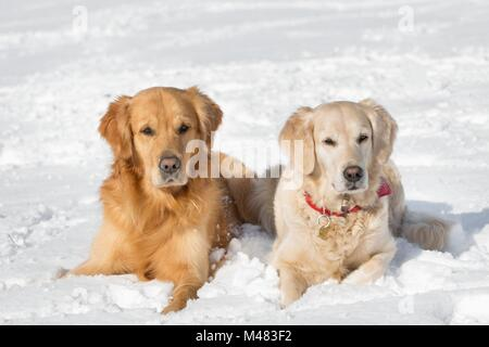 Two dogs (Golden Retriever) lying in the snow in winter - Stock Photo