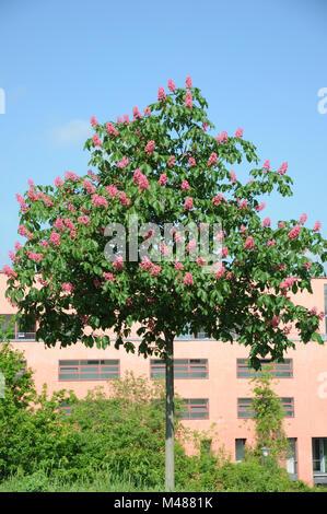 Aesculus x carnea Briotii, Red-flowering chestnut - Stock Photo