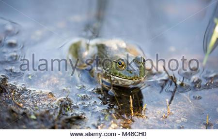 American Bullfrog - Lithobates catesbeianus. Santa Clara County, California - Stock Photo
