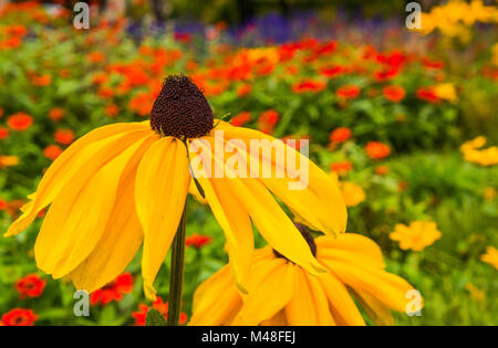 Beautiful Red-eyed Susan in the Garden - Stock Photo