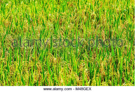 Green ear of rice in paddy rice field under sunrise - Stock Photo