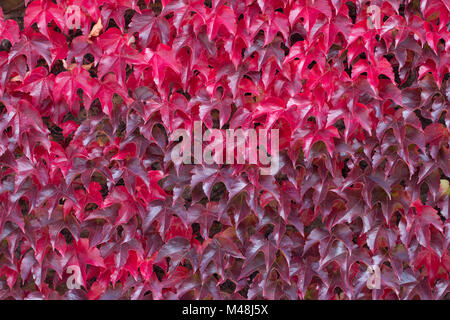Red autumnal leaves of an Ivy wall climber - Stock Photo