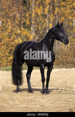 black horse portrait outside with colorful autumn leaves in background - Stock Photo