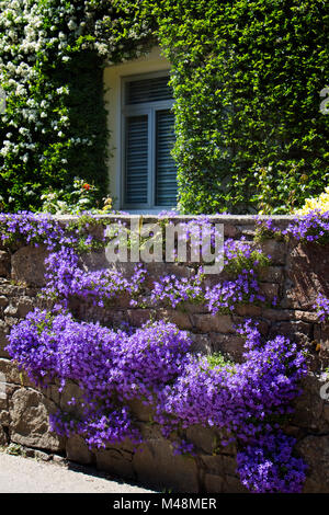 Aubretia aubrieta growing in garden wall uk stock for Garden design jersey channel islands