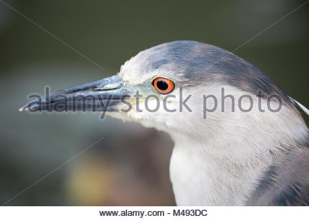 Black-Crowned Night-Heron, Nycticorax nycticorax, close-up - Stock Photo