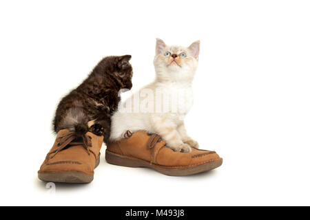 Portrait of two British Shorthair Kittens sitting in men's shoes. - Stock Photo