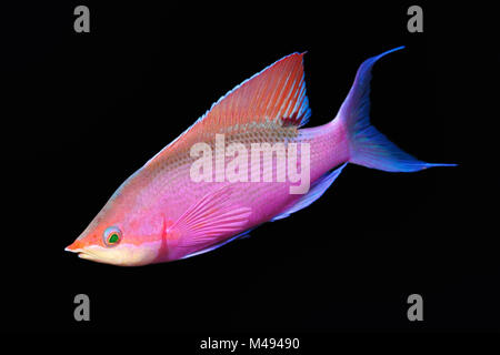 Male purple queen Anthias (Pseudanthias tuka), photographed in New Ireland, Papua New Guinea. - Stock Photo