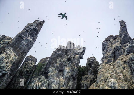 Brunnich's guillemot (Uria lomvia) in flight, seen from below at  Alkefjellet Bird Cliff, Svalbard, Norway, July. - Stock Photo