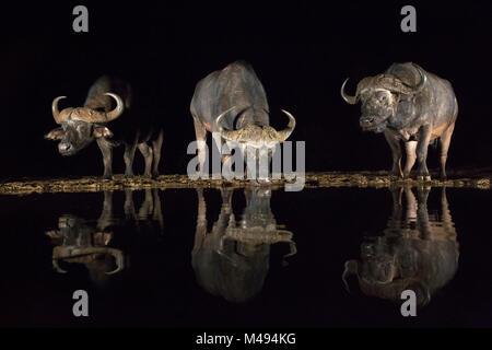 Cape buffalo (Syncerus caffer) drinking at waterhole at night, Zimanga Private Game Reserve, KwaZulu-Natal, South - Stock Photo