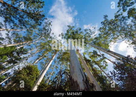 A stand of Eucalyptus grandis also known as the flooded gum or rose gum trees in Northern NSW, Australia - Stock Photo