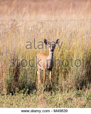 Black-tailed Deer (Odocoileus hemionus) in the grassland. Adult, Female - Stock Photo