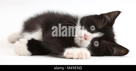 Black-and-white kitten, Solo, 7 weeks, lying on his side. - Stock Photo