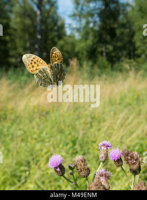 Silver washed fritillary butterfly  (Argynnis paphia) female in flight with thistles,  Uusimaa, Finland, August. - Stock Photo
