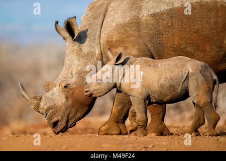 White rhinoceros (Ceratotherium simum) calf and mother, Mkuze, South Africa - Stock Photo