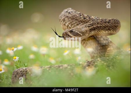 Western diamond-backed rattlesnake (Crotalus atrox) Texas, USA, April. - Stock Photo