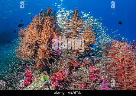 Gorgonian sea fans (Melithaea sp.) with a large school of Pygmy sweepers (Parapriacanthus ransonetti) Andaman Sea, - Stock Photo
