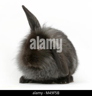Black smoke fluffy Lionhead x Lop rabbit. - Stock Photo