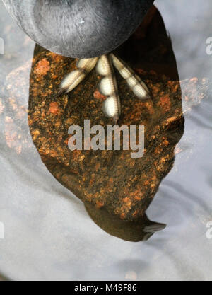 Eurasian coot (Fulica atra) close up of foot and reflection of body in water, Norway, March. - Stock Photo