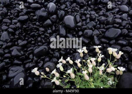 Sea campion (Silene uniflora) white flowers growing on black volcanic rocks, Snaefellsnes, Iceland, June - Stock Photo