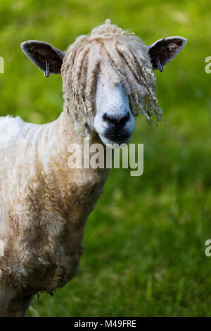 A  Cotswold Lion sheep, rare breed,  Gloucestershire, UK.  June. - Stock Photo