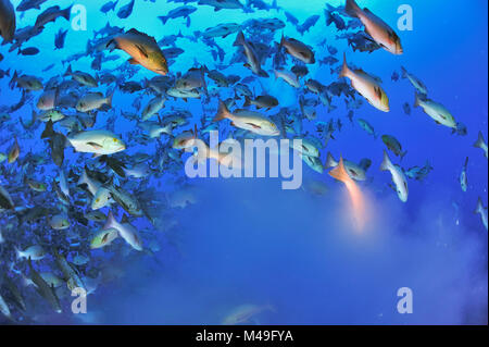 Red snappers / Two-spot red snappers (Lutjanus bohar) mass shoal of fish spawning, Palau, Philippine Sea. A few - Stock Photo