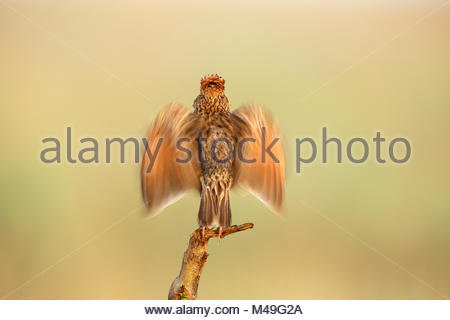 Rufous naped Lark (Mirafra africana) male courtship display, Rietvlei Nature Reserve, Gauteng Province, South Africa, - Stock Photo