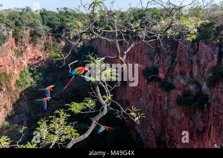 Red-and-green macaws (Ara chloropterus) perched and in flight over Buraco das Araras, the Sinkhole of the Macaws, - Stock Photo