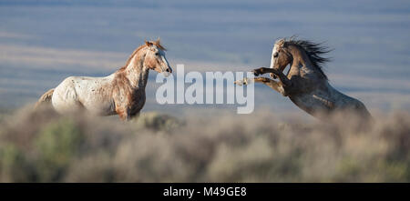 Two wild Mustang stallions fighting in White Mountain Herd Area, Wyoming, USA. August. - Stock Photo