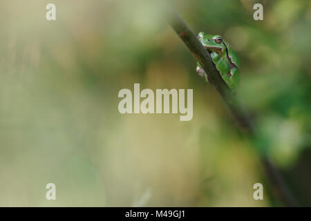 Common tree frog (Hyla arborea) resting on branch in day, Burgundy, France, April. - Stock Photo
