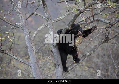 Spectacled bear (Tremarctos ornatus) up tree, Chaparri Ecological Reserve, Peru - Stock Photo