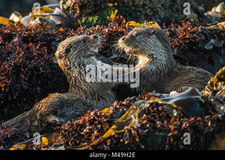 European river otter (Lutra lutra) cubs play fighting, Shetland, Scotland, UK, May. - Stock Photo