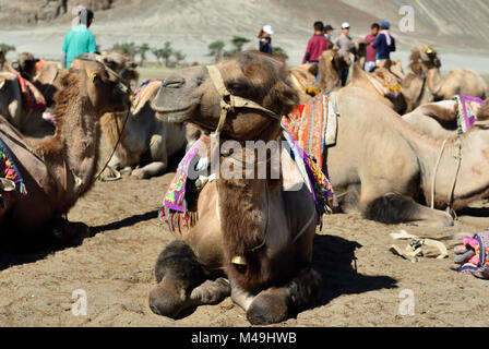 Camels on the desert in the Nubra valley in Ladakh, India. - Stock Photo